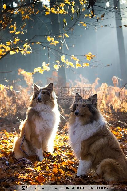 秋天里的两只狗 牧羊犬 宠物 动物 动物肖像 毛皮 查看 动物世界