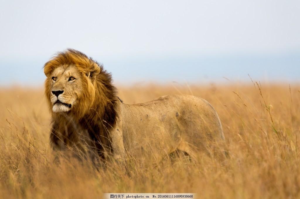 非洲狮子图片,非洲狮子高清图片素材下载 非洲动物 王