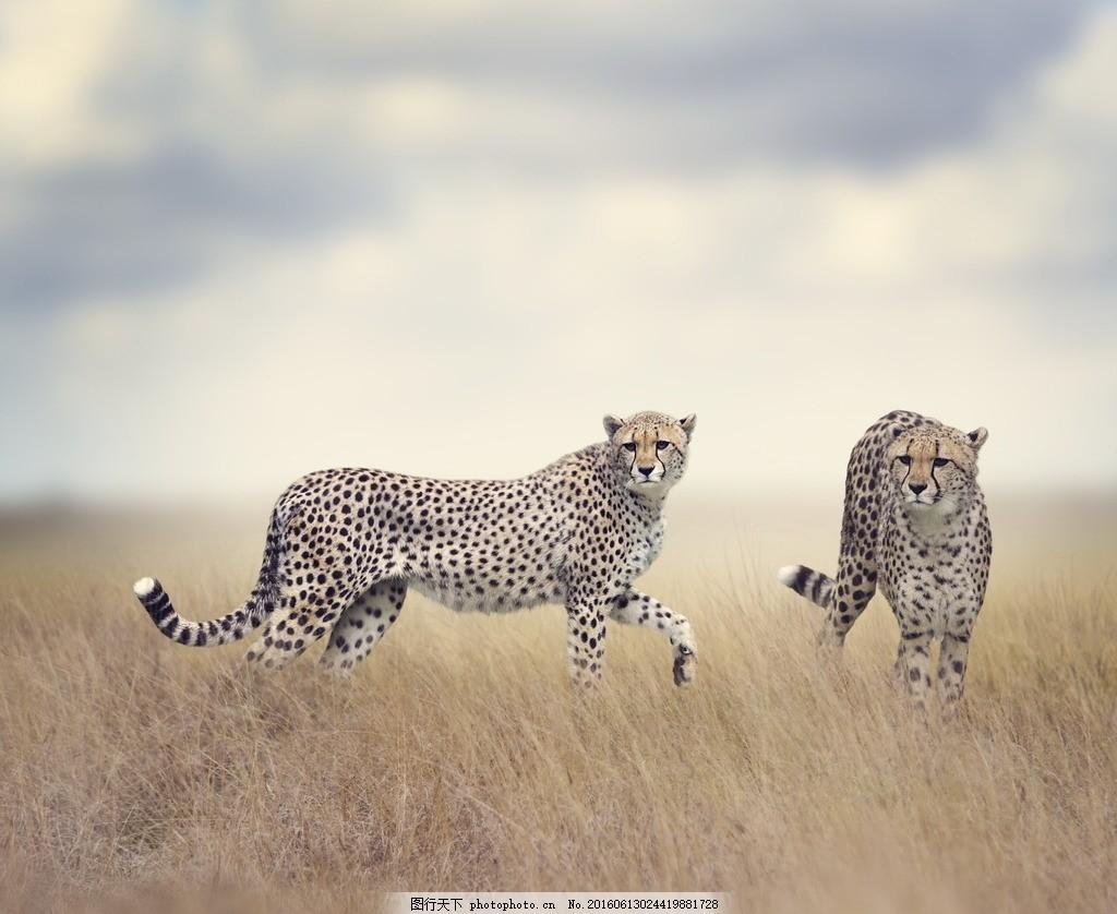 猎豹 草原 原野 荒草 非洲 野生 荒野 动物摄影 摄影 生物世界 野生动