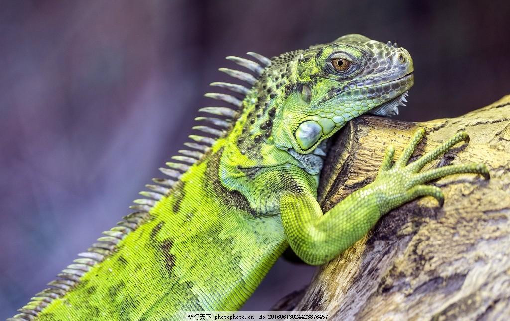蜥蜴 树木 爬行动物 变色龙 巨蜥 摄影