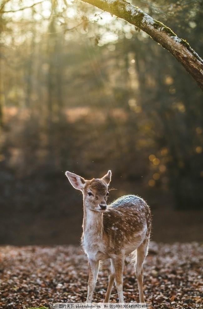 鹿 森林 梅花鹿 小鹿 温顺 动物 摄影 生物世界 野生动物 72dpi jpg