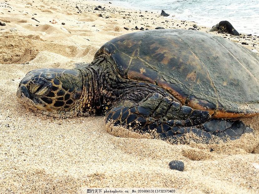 沙滩上的乌龟 大 海滩 野生动物 自然 老 爬行动物 睡觉 红色