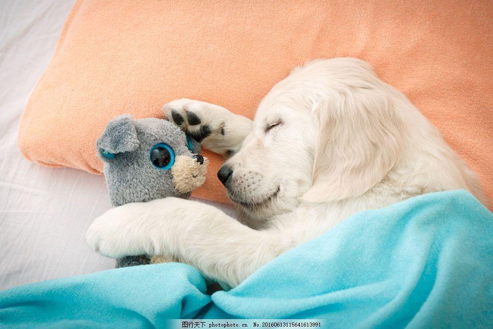 睡觉的小狗图片素材 睡觉的小狗 狗狗 宠物狗 睡熟 睡眠 睡觉的动物