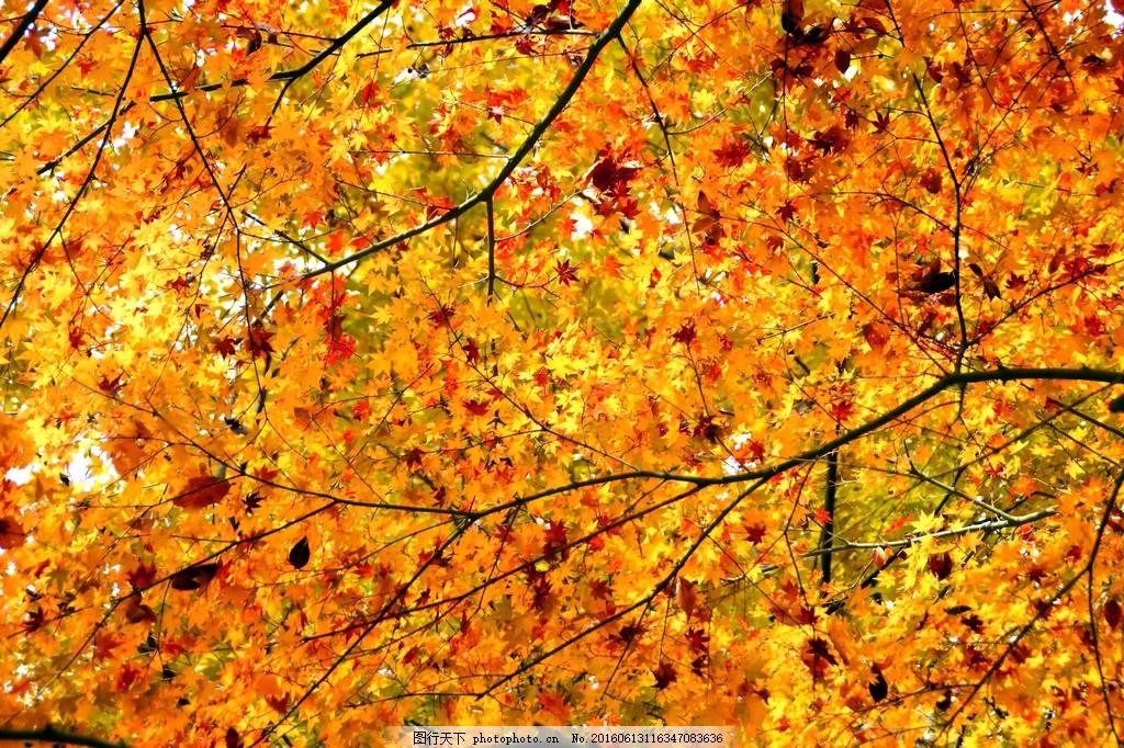美丽的金色枫叶风景图片