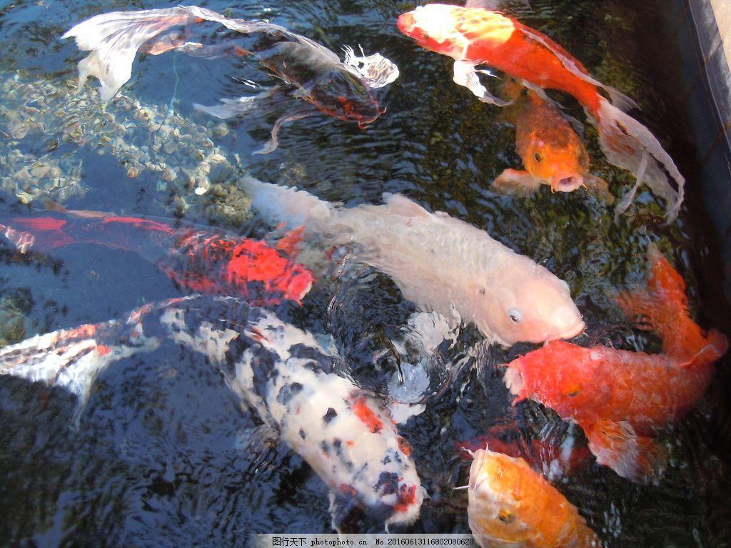 鱼塘锦鲤鱼 鱼塘锦鲤鱼高清图片素材下载 水生动物 宠物鱼 观赏鱼