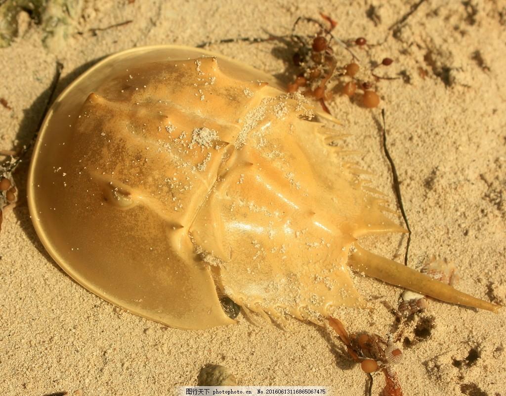 马蹄蟹高清图片
