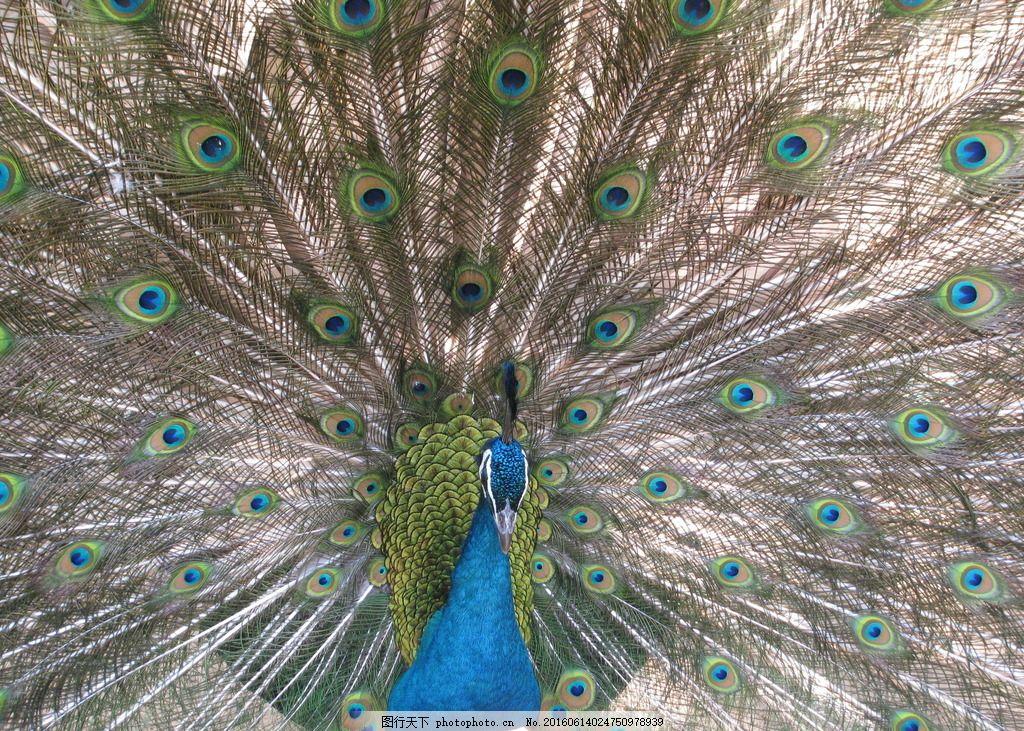 蓝孔雀开屏 蓝孔雀 孔雀 鸟类 飞禽 动物 动物世界 动物园 动物摄影