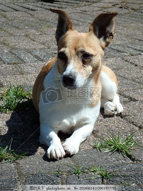 地砖上趴着的狗 宠物狗 宠物 地面 草地 植物     红色 jpg