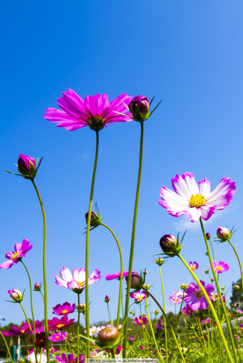 动植物  美丽的格桑花风景高清图片下载 花卉 花朵 花草 鲜花 唯美