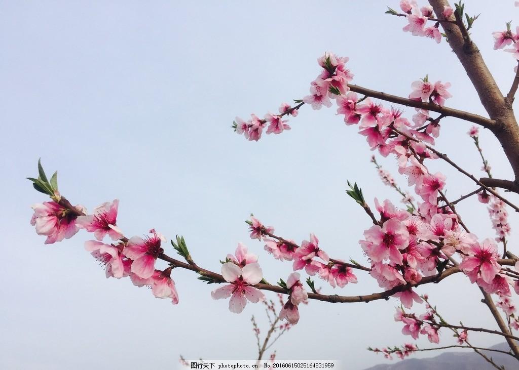 桃花 风景 底纹 壁画 自然风景 风光 太阳 阳光 紫色 花朵
