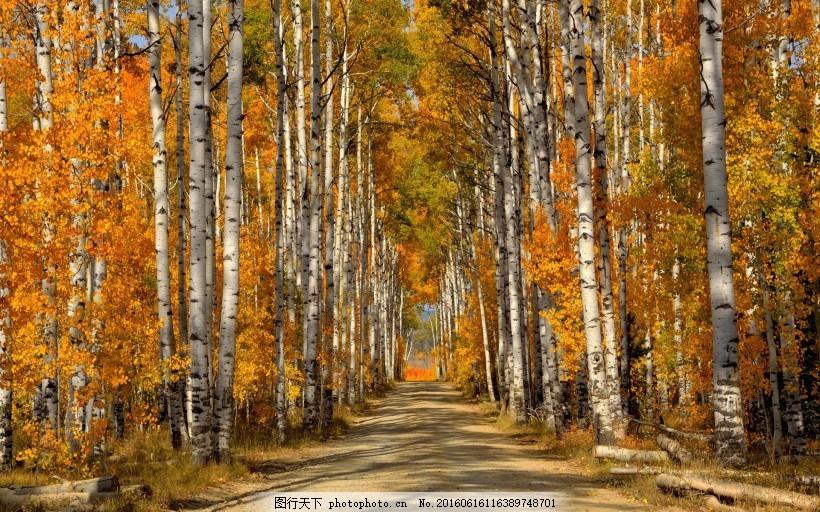 桦树林风景-图行天下图库