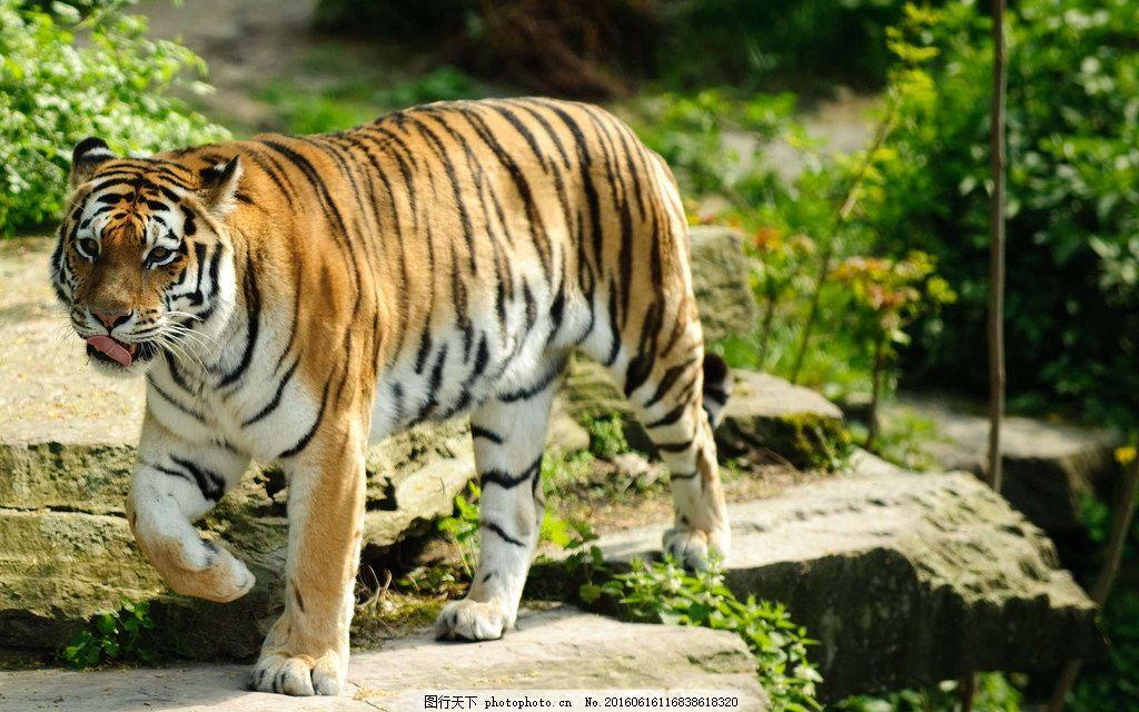 东北虎 大老虎 动物 野生动物 保护动物