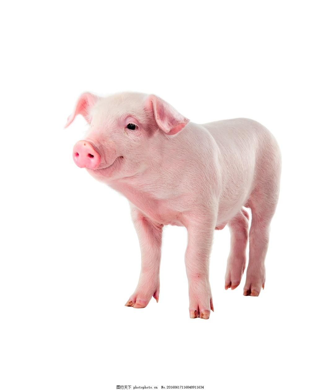 可爱小猪图片,可爱小猪高清图片下载 萌宠 萌小猪 小