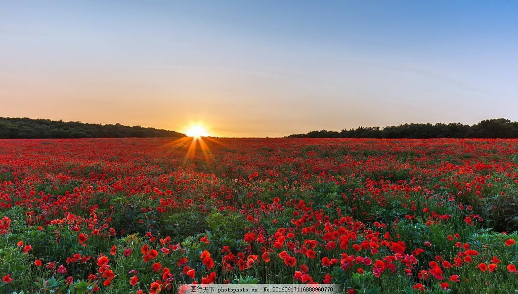 美丽的罂粟花海风景 美丽的罂粟花海风景图片下载 花卉 花朵 花草