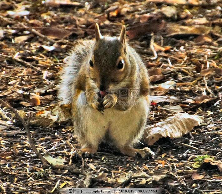 可爱的小松鼠 坚果 橡子 动物 克利夫登 松鼠 眼睛 地面 可爱