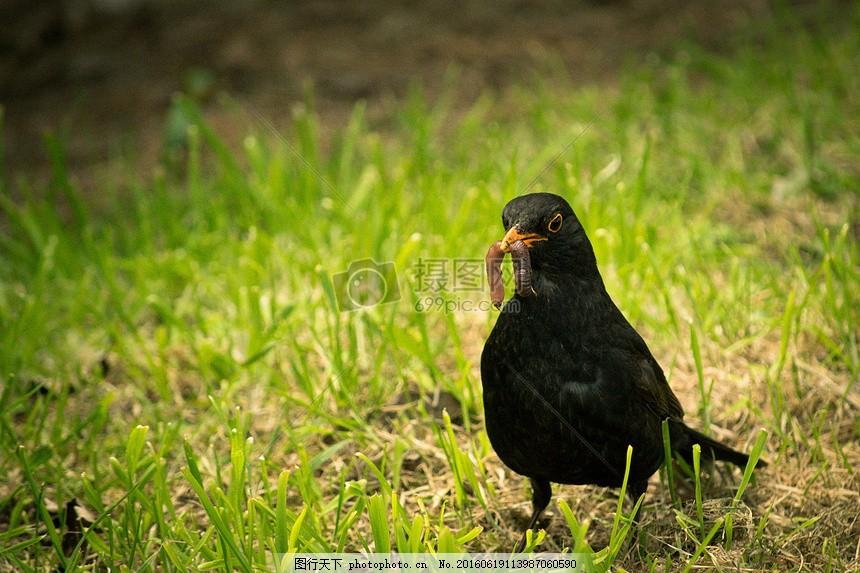 吃虫子的小鸟 黑鸟 蠕虫 动物 自然 野生动物 鸟嘴 绿色 草丛