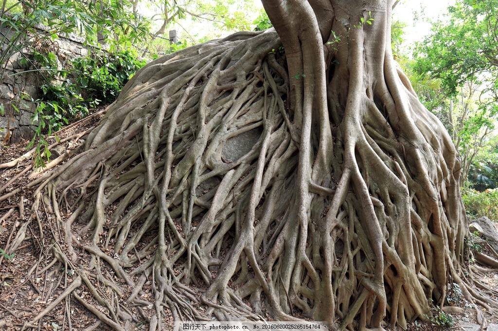 老树根 大小洞天 风景区 旅游 三亚 景点 三亚大小洞天 根深蒂固