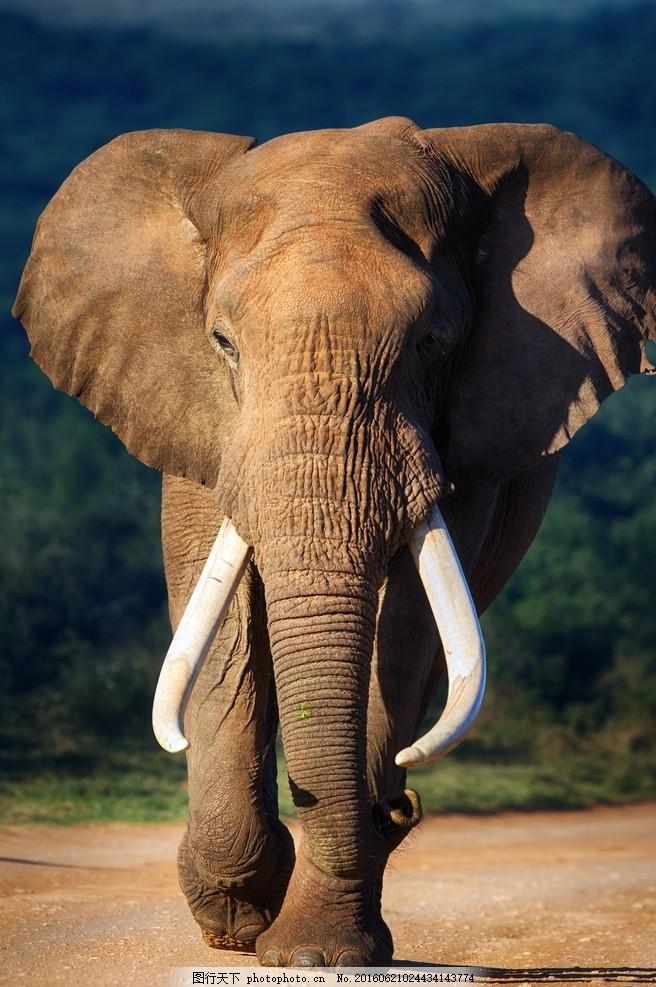 大象 摄影 生物世界 象 高清 jpg 野生动物 摄影 生物世界 野生动物