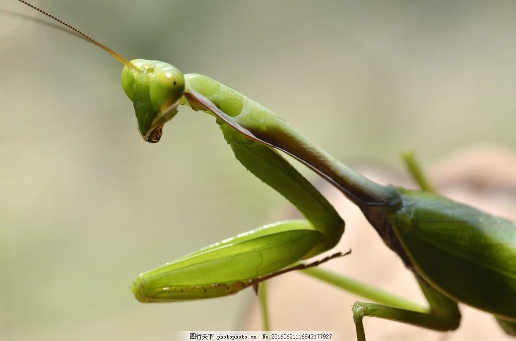 绿色螳螂图片素材下载 小蝗虫 绿色蝗虫 小昆虫 害虫 节肢动物
