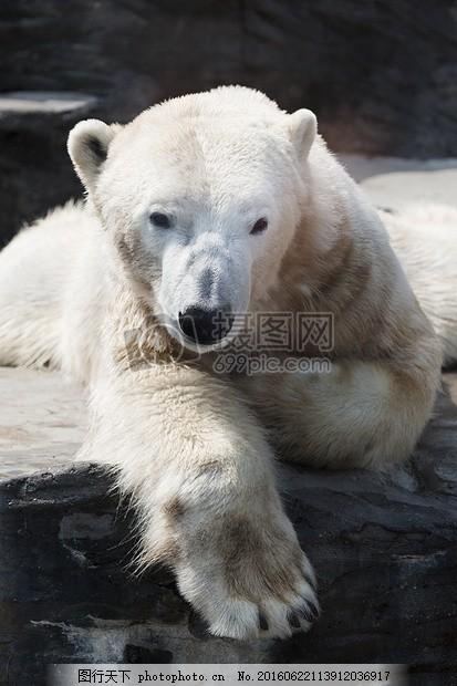 动物 北极 北极熊 毛皮 哺乳动物 捕食者 白 野生 野生动物     黑色