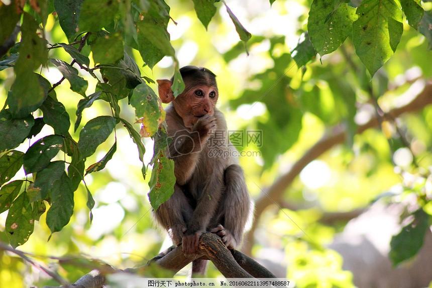 树林里的猴子 滑稽 保护动物 红色