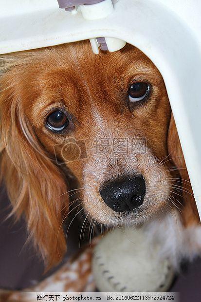 可爱的狗 宠物 动物 棕色 眼睛 红色