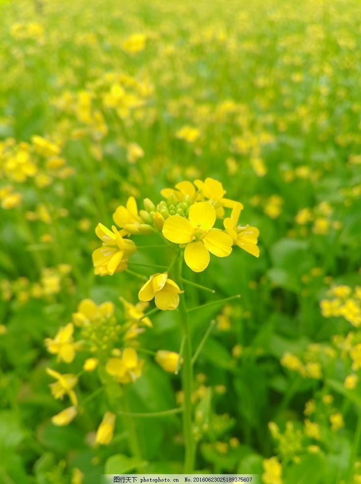 黄花菜 花海 近景 自然景观 自然风景 摄影 生物世界 花草 72dpi jpg