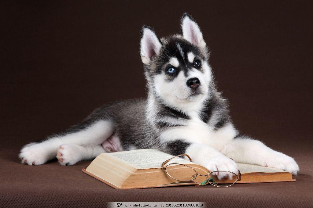 哈士奇高清图素材,动物 狗 可爱的 快乐 二哈-图行