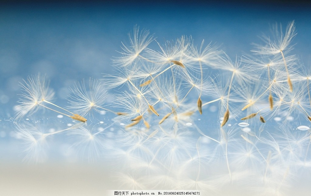 唯美 植物 花 花卉 蒲公英 浪漫蒲公英 梦幻蒲公英 摄影 生物世界
