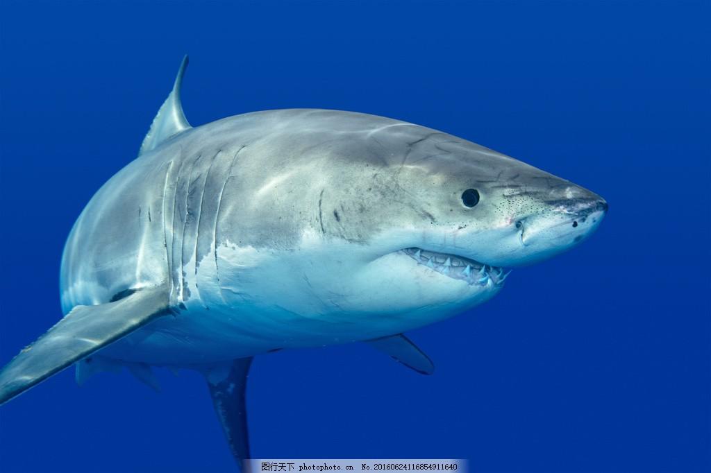 海里大鲨鱼 海里大鲨鱼高清图片下载 海洋 生物 动物 海洋生物