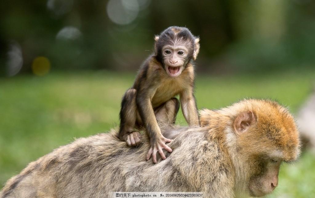 动物世界 保护动物 动物 猴子 猴子母爱 母猴和小猴 母猴背小猴 小