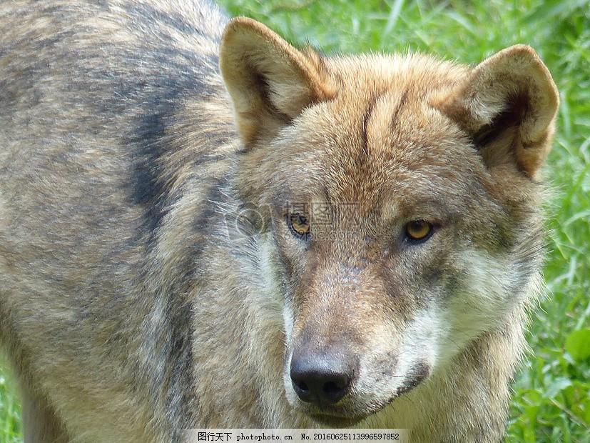 草地山的狼狗 狼 动物 捕食者 狼狗 草地 耳朵 鼻子 狗毛 绿草