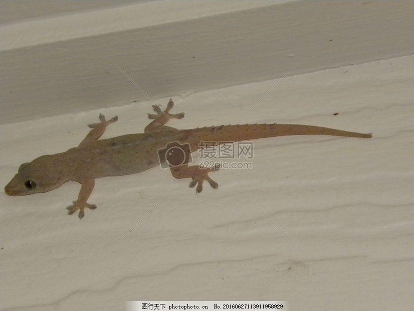 亚洲壁虎 蜥蜴 爬行动物 动物群 澳大利亚 红色