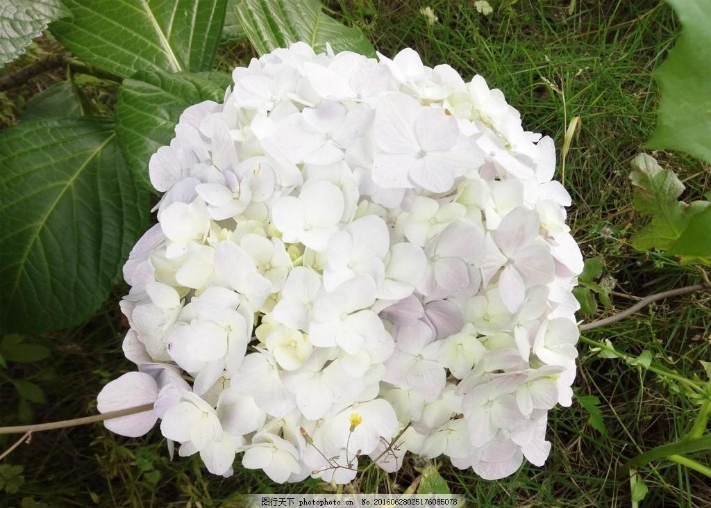 绣球花 绿色 宽扁叶 白色 淡蓝色 聚伞花序 花冠 星状 株直立