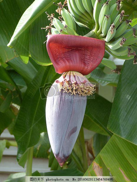 阳光下的香蕉树 香蕉 开花 香蕉花 水果绿色 健康 美味阳光     红色