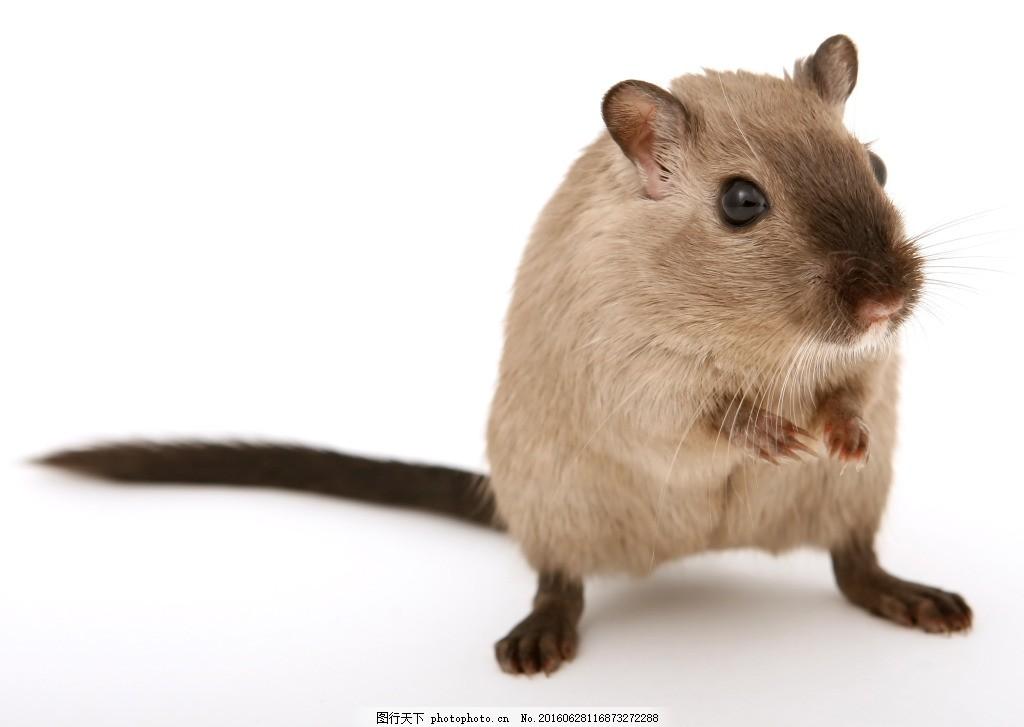 老鼠小动物特写