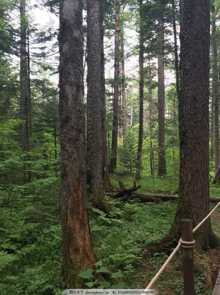 长白山森林 树林 风景 树木 树叶 松树 摄影