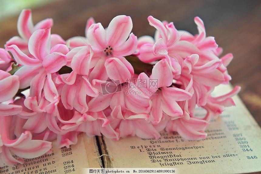 阳光下的植物 风信子 粉红色 鲜花 香花 本书 关闭阳光图片