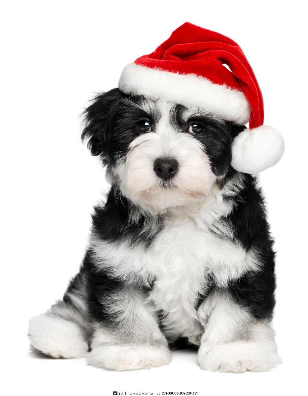 圣诞黑白萌狗狗图片素材